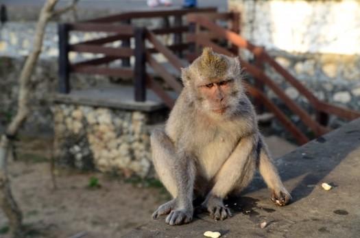 monkey-bali-indonesia-wildlife-temple[1]